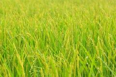 Dichte omhooggaand van de rijst Royalty-vrije Stock Foto's