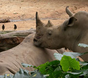 Dichte omhooggaand van de rinoceros stock afbeeldingen