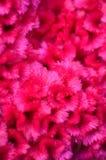 Dichte omhooggaand van de roze bloem van de Hanekam Stock Foto