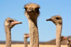 Dichte omhooggaand van de struisvogel Royalty-vrije Stock Foto's