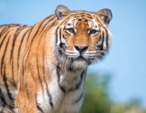 Dichte omhooggaand van de Sumatrantijger Kritisch Bedreigd Dier stock fotografie