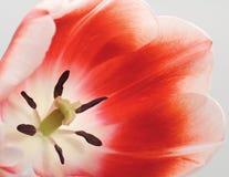 Dichte omhooggaand van de tulp Royalty-vrije Stock Fotografie