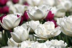 Dichte omhooggaand van de tulpenbloem Stock Foto
