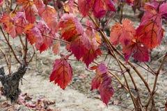 Dichte omhooggaand van de wijngaard Royalty-vrije Stock Afbeeldingen