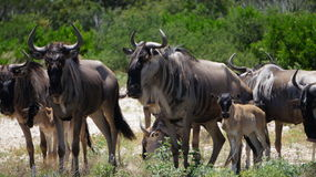 Dichte Omhooggaand van de Wildebeestkudde Stock Foto