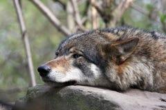 Dichte omhooggaand van de wolf Stock Afbeelding