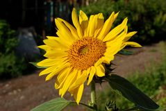 Dichte omhooggaand van de zonnebloem Stock Afbeeldingen