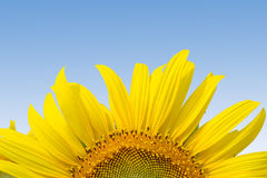 Dichte omhooggaand van de zonnebloem Stock Foto's