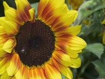 Dichte omhooggaand van de zonnebloem Royalty-vrije Stock Foto
