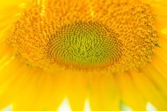 Dichte Omhooggaand van de zonnebloem Royalty-vrije Stock Fotografie