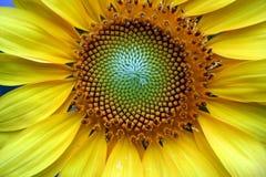 Dichte Omhooggaand van de zonnebloem Royalty-vrije Stock Afbeeldingen