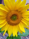 Dichte omhooggaand van de zonnebloem royalty-vrije stock foto's