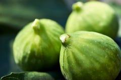 Dichte omhooggaand van drie fig. backlit op vijgebladen met wit sap op de uiteinden stock afbeeldingen