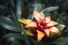 Dichte omhooggaand van een Bromelia royalty-vrije stock fotografie
