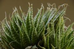 Dichte omhooggaand van een cactus royalty-vrije stock fotografie