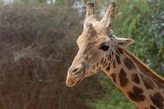 Dichte omhooggaand van een giraf hoofdgiraffa met groene struiken op achtergrond stock foto