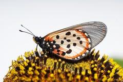 Dichte omhooggaand van een mooie hortavlinder van tuinacraea Acraea stock foto's