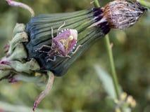 Dichte omhooggaand van een Stink Insect royalty-vrije stock afbeelding