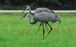 Dichte Omhooggaand van Florida van Twee Sandhill-Kranen in Rode het Koppelen Maskers Royalty-vrije Stock Afbeelding