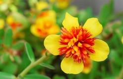 Dichte omhooggaand van Gele Gemeenschappelijke Purslane Royalty-vrije Stock Fotografie