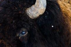 Dichte omhooggaand van het bizonoog Stock Foto's