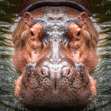 Dichte omhooggaand van het Hippogezicht Stock Fotografie