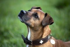 Dichte omhooggaand van het hondenportret Royalty-vrije Stock Afbeelding