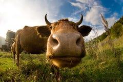 Dichte omhooggaand van het hoofd van een koe. Royalty-vrije Stock Fotografie