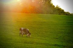 Dichte omhooggaand van het hoofd van een koe Royalty-vrije Stock Foto