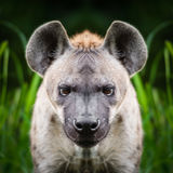 Dichte omhooggaand van het hyenagezicht Stock Fotografie