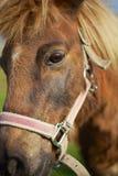 Dichte Omhooggaand van het paard Royalty-vrije Stock Afbeeldingen