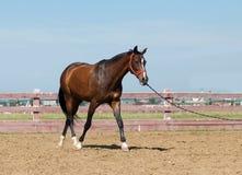 Dichte omhooggaand van het paard Royalty-vrije Stock Afbeelding