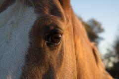 Dichte omhooggaand van het paardgezicht Royalty-vrije Stock Afbeeldingen