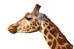 Dichte Omhooggaand van het Profiel van Camelopardalis van de giraf Hoofd Ontsproten stock fotografie