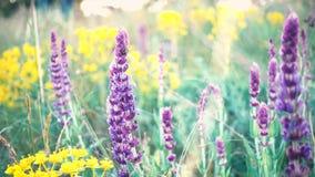 Dichte omhooggaand van het Salviagras stock videobeelden