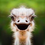Dichte omhooggaand van het struisvogelgezicht Stock Foto