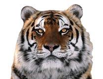 Dichte omhooggaand van het tijger` s gezicht geïsoleerd bij wit die camera bekijken Stock Fotografie