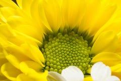 Dichte omhooggaand van het zonnebloemdeel ge?soleerd op wit stock afbeelding