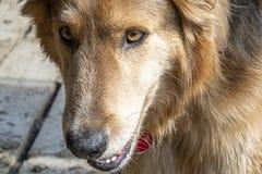 Dichte omhooggaand van Husky Collie Dog van ogen royalty-vrije stock afbeelding
