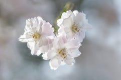 Dichte omhooggaand van Japanse kersenbloesem Sakura Stock Afbeelding