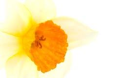 Dichte omhooggaand van Narcissenbloem. Royalty-vrije Stock Foto