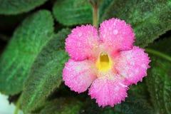 Dichte omhooggaand van roze Episcia Stock Afbeeldingen