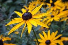 Dichte omhooggaand van trillende gele zwarte eyed Susan royalty-vrije stock foto's