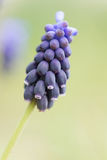 Dichte omhooggaand van Violet Grape Hyacinth stock foto's