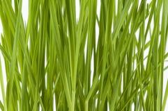 Dichte omhooggaand van Wheatgrass Royalty-vrije Stock Afbeeldingen