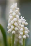 Dichte omhooggaand witte van Druivenhyacinth bulbs (Muscari) royalty-vrije stock afbeelding