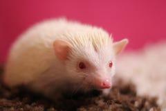 Dichte omhooggaande Albino van de persoons de Afrikaanse pygmy egel met rode ogen stock fotografie