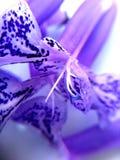 Dichte omhooggaand van de lavendel Stock Afbeelding