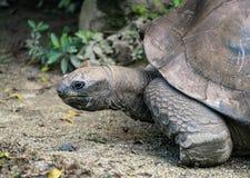 Dichte omhooggaande mening van de Aldabra de reuzeschildpad van het hoofd Royalty-vrije Stock Foto