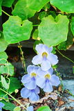 Dichte omhooggaande ` Thunbergia grandiflora Roxb ` Royalty-vrije Stock Foto